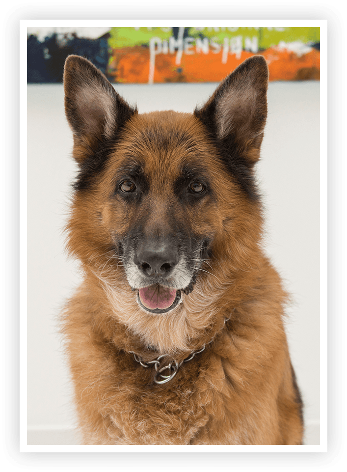 kingston german shepherd in office